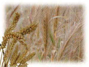 wheat-and-tares1